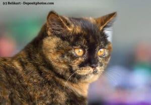 Portrait einer Britisch Kurzhaar Fellfarbe Tortie (Schildplatt und Tabby)
