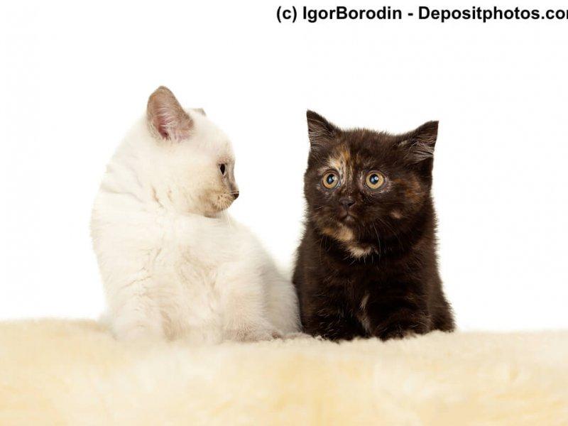 Britisch Kurzhaar Kitten in Colorpoint und Black Tortie