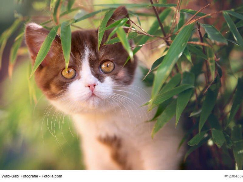 Britisch Kurzhaar Katze braun weiß