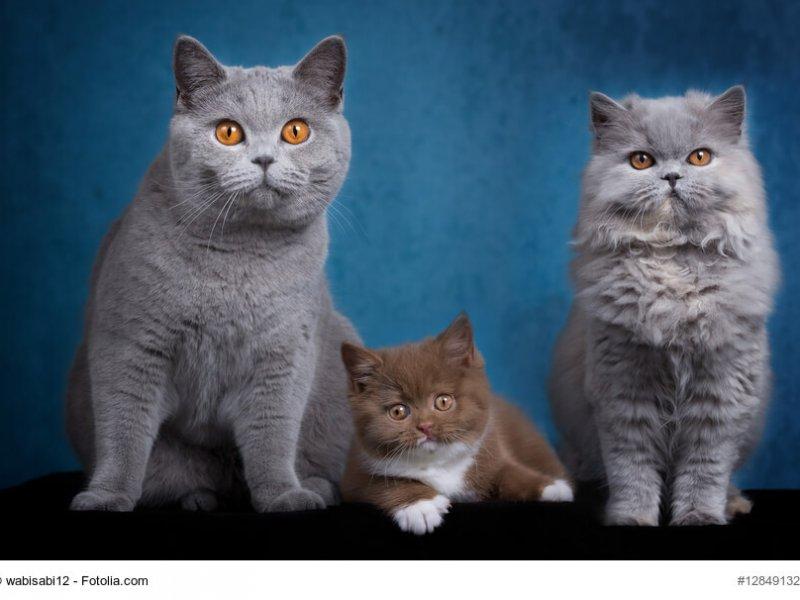 Unterschiede Britisch Kurzhaar, Britisch Langhaar mit Kitte