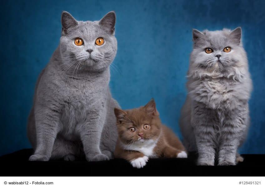 Britisch Langhaar und Britisch Kurzhaar samt Kitte auf einem Bild