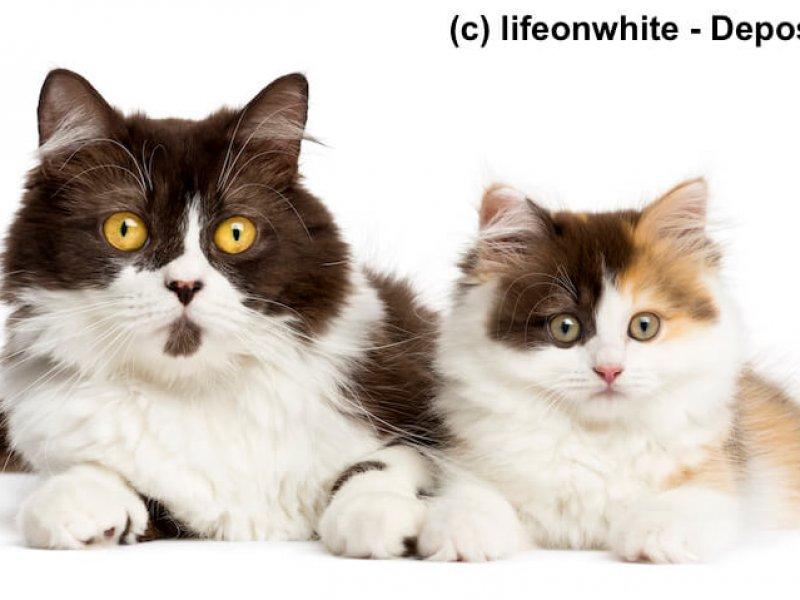 Britisch Langhaar und Highlander Kitten