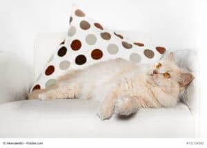 Sehr selten, Britisch Langhaar Katze in creme, liegend