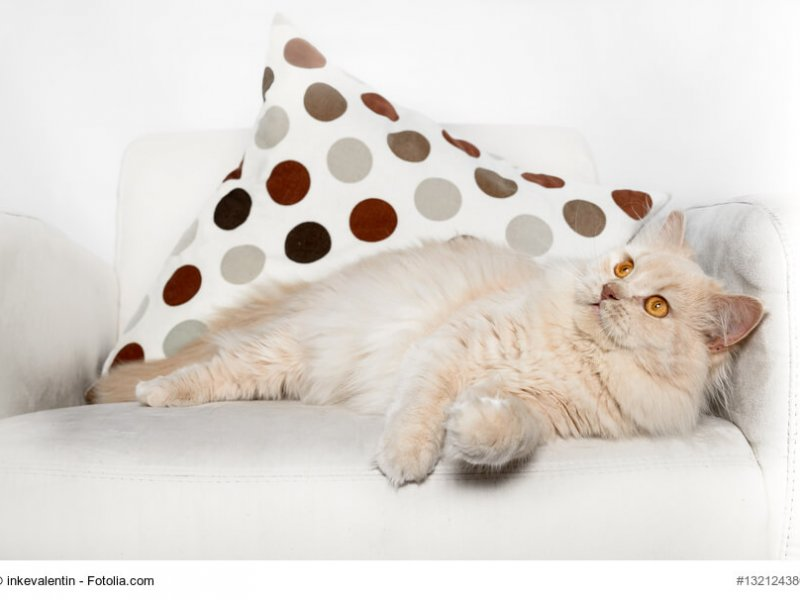 Creme farbige Britisch Langhaar Katze