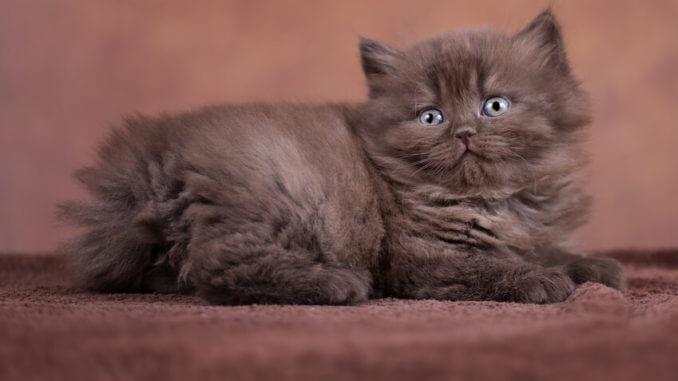 Britisch Langhaar Kitte