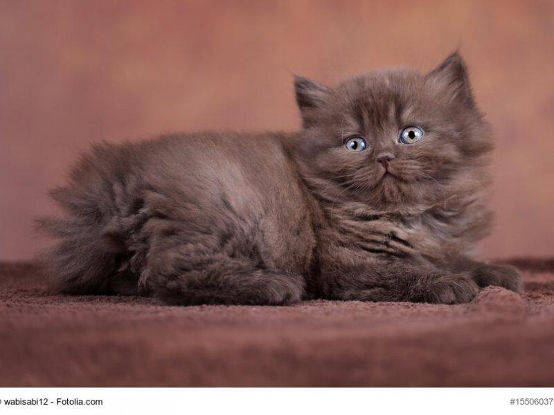 Britisch Langhaar Katzenkind braun