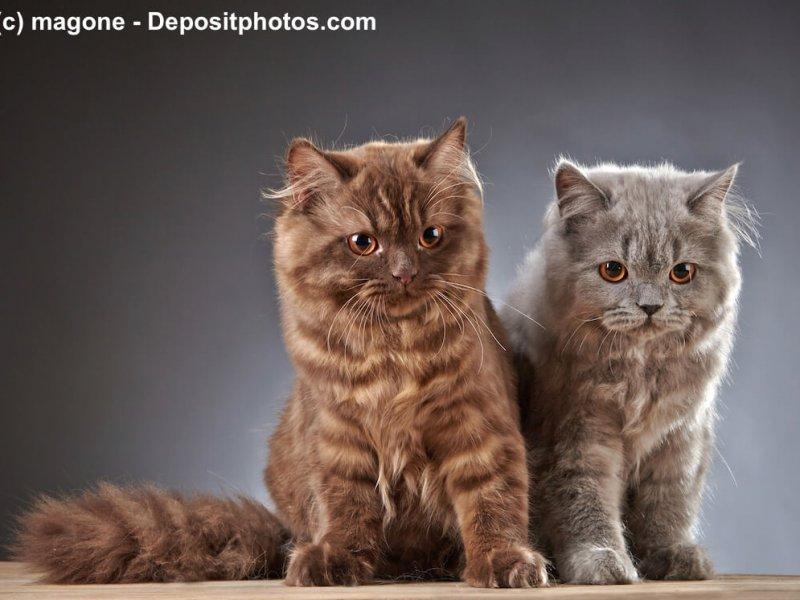 Britisch Langhaar Kitten in Tabby braun und silber