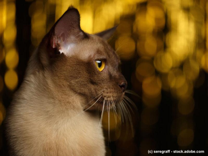 Burma Katze mit Feuerwerk