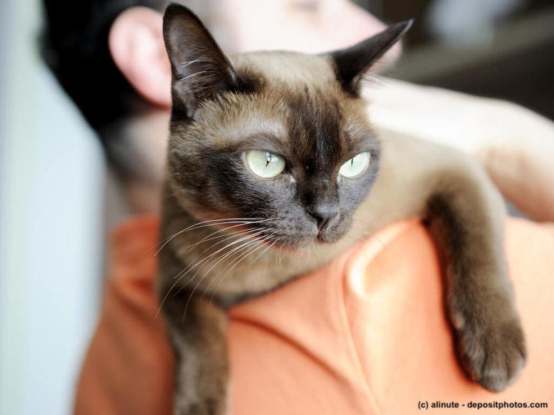 Burma Katze auf Schulter