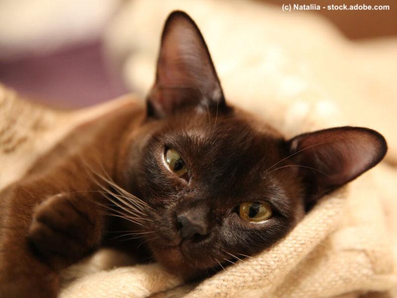 Burma Katze gemütlich