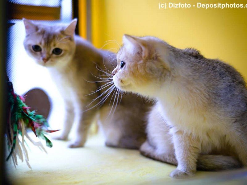 Neugierige Burmilla Kitten