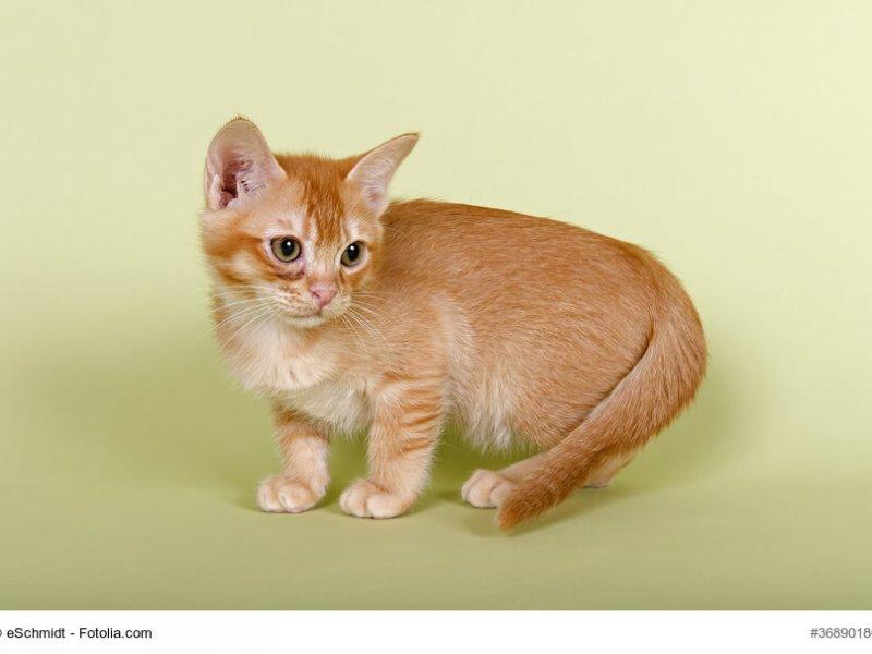 Burmilla Katzenkind