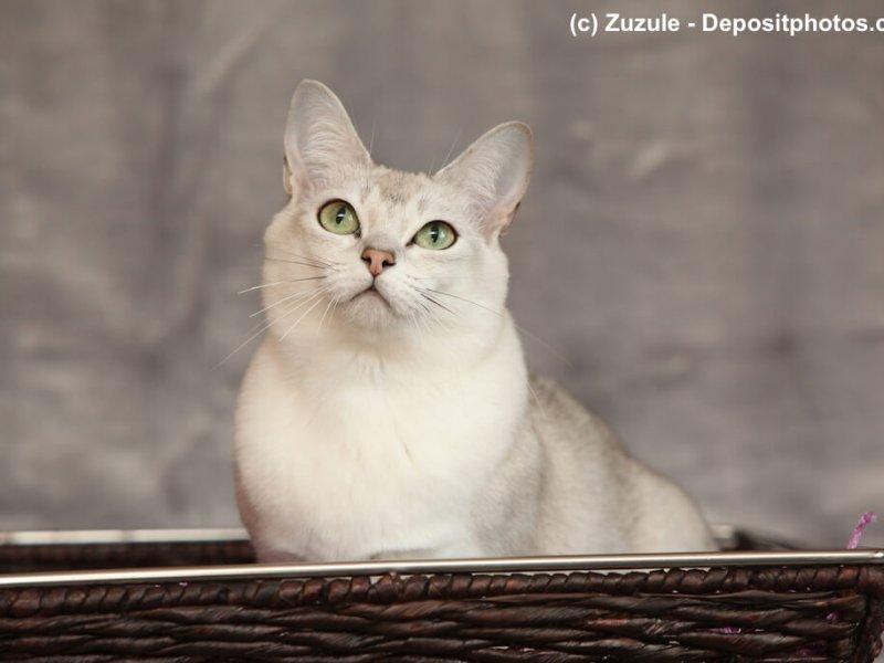 Burmilla sind sehr anhängliche Katzen