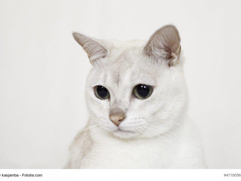 Burmilla Katze weiß in Nahaufnahme