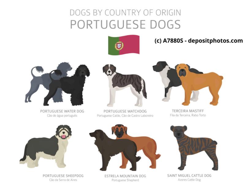 Cão Fila de São Miguel Cão da Serra de EstrelaPortugal Hunderassen Infografik 6