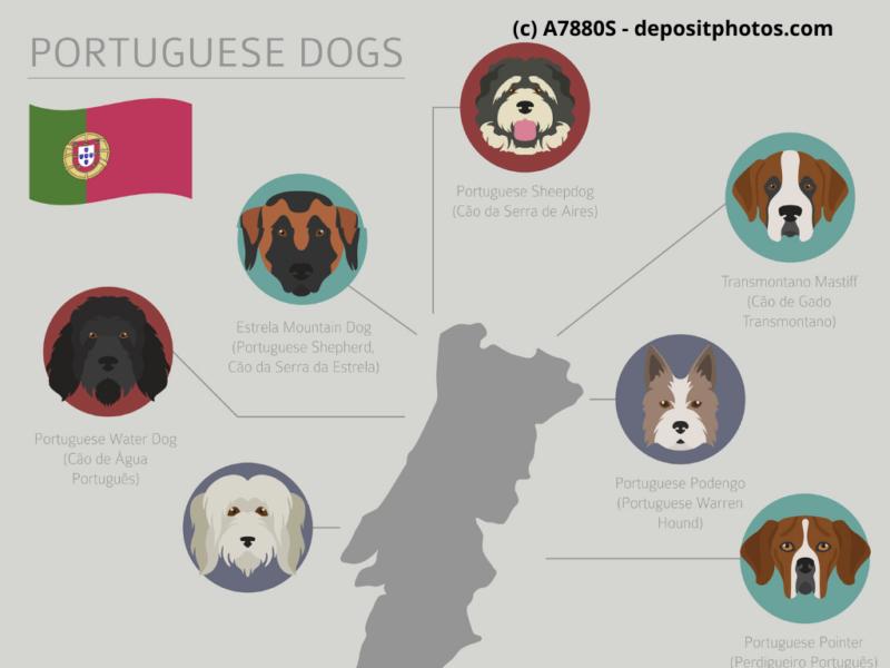 Cão Fila de São Miguel, Cão da Serra de Estrela Portugal Hunderassen Infografik 5