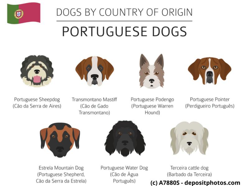 Cão Fila de São Miguel, Cão da Serra de Estrela Portugal Hunderassen Infografik 4