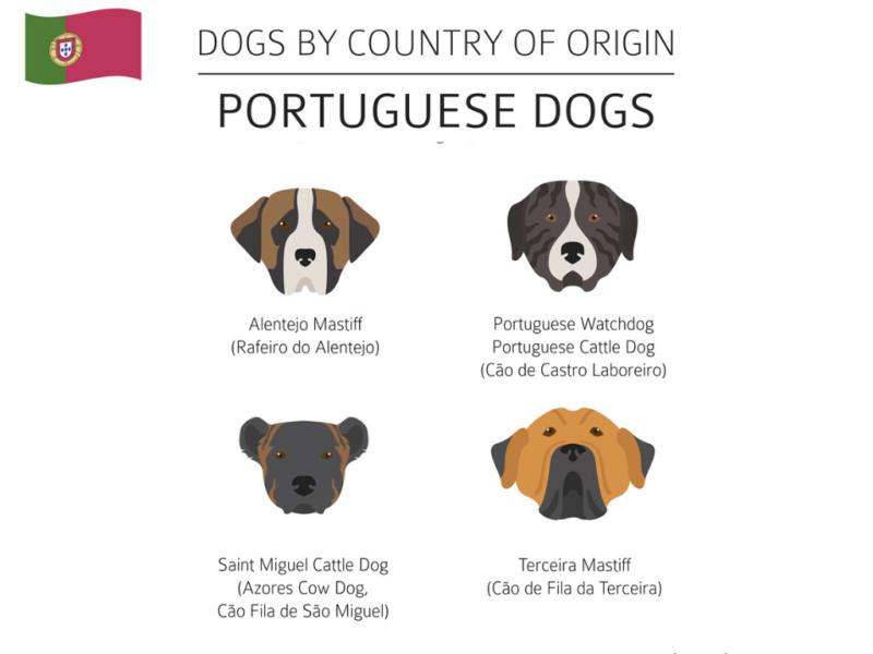 Cão Fila de São Miguel, Rafeiro do Alentejo, Cão de Castro Laboreiro Portugal Hunderassen Infografik 3