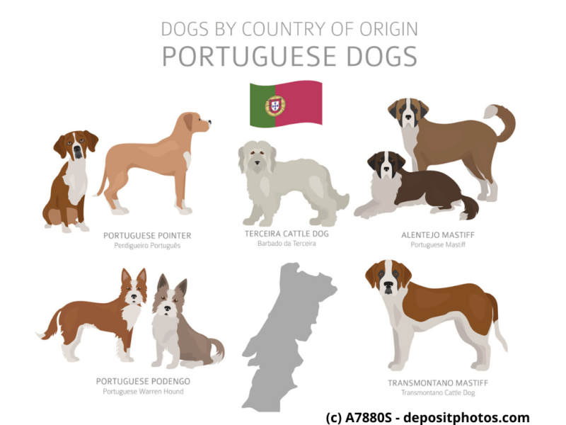 Cão Fila de São Miguel Portugal Hunderassen Infografik