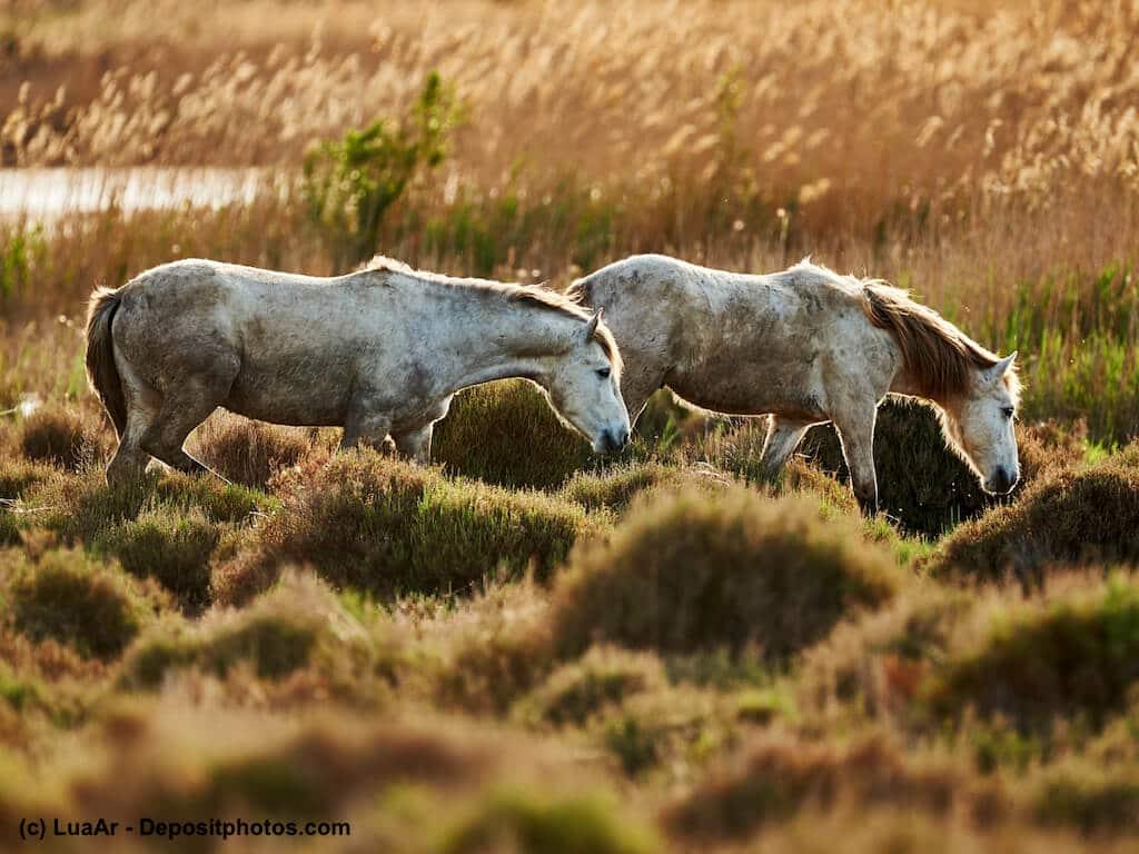 Camargue Pferde Steckbrief