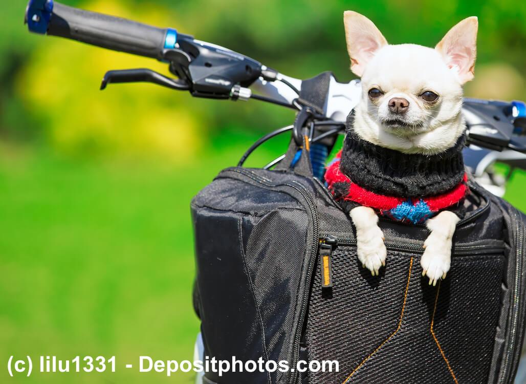 Chihuahua im Fahrradkorb für Hunde