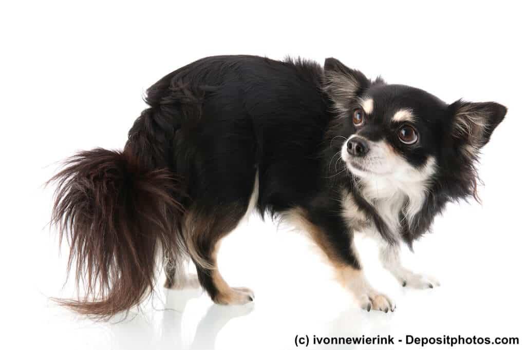 Ein geduckter, verängstigter Chihuahua vor weißem Hintergrund.