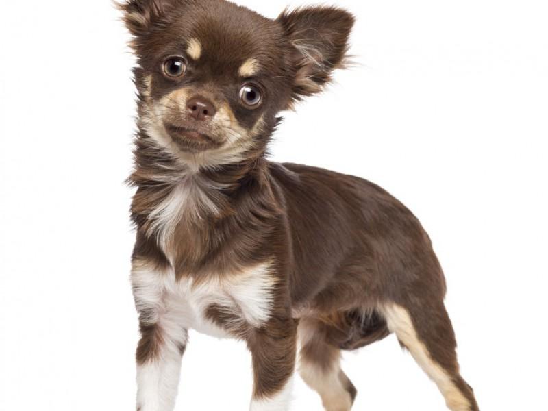 Chihuahua sind sehr auf ihr Herrchen fixiert