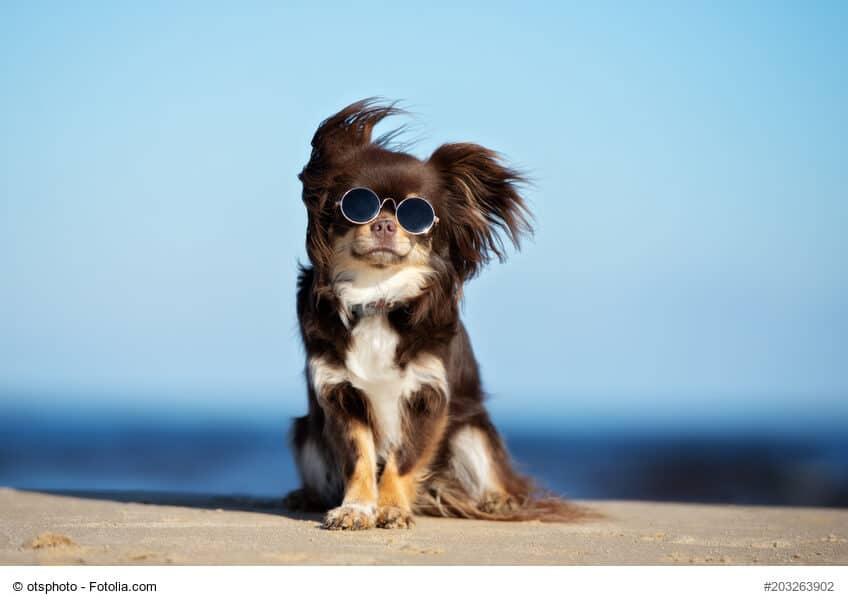 Lustiger Chihuahua mit Sonnenbrille im Wind