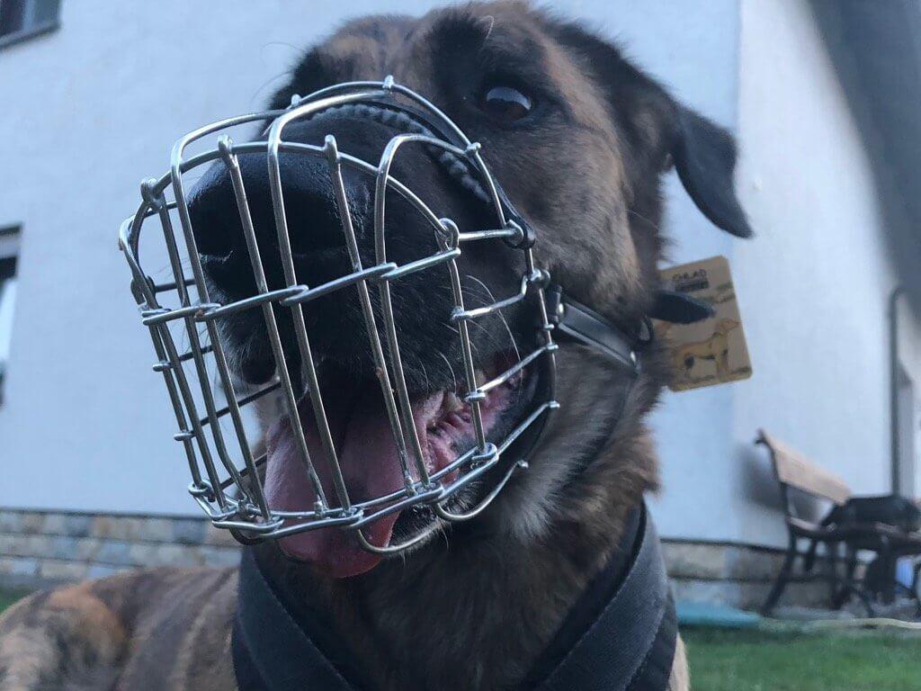 Nahaufnahme von schräg vorne auf einen hechelnden Hund mit Drahtmaulkorb von Chlad