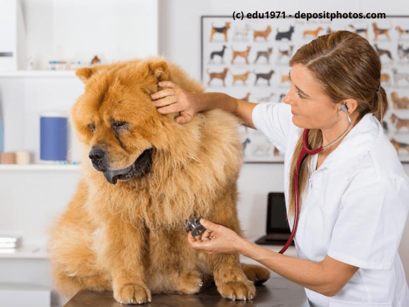 Chow-Chow beim Tierarzt