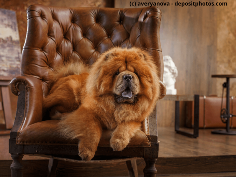 Chow-Chow liegt auf braunen Sessel in Fotostudio