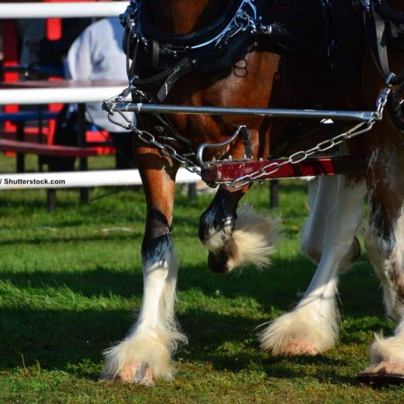 Clydesdale als Arbeitspferde