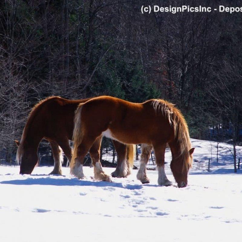 Zwei Clydesdale Pferde im Schnee
