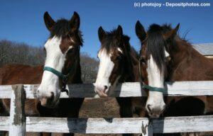 Clydesdale Trio mit einen Nüstern schaut interessiert über einen Weidezaun