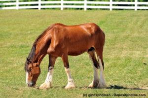 Junger, hellbrauner Clydesdale grasend auf der Weide