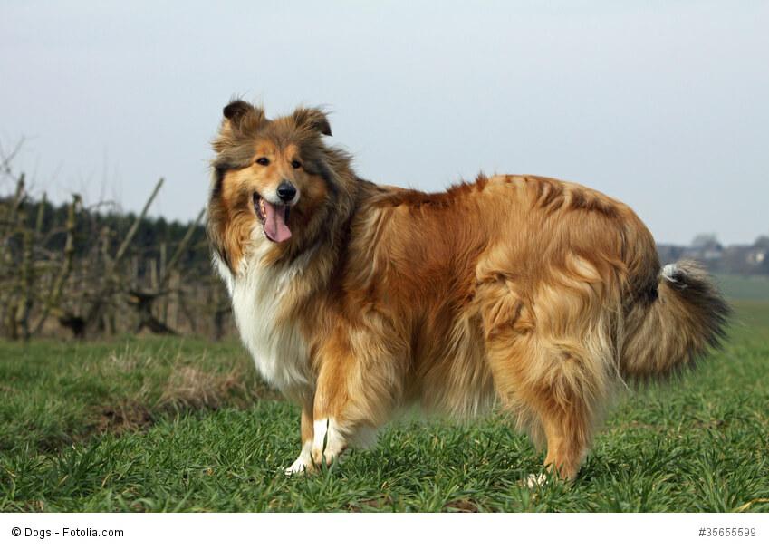 Lassie hat die Collies weltberühmt gemacht