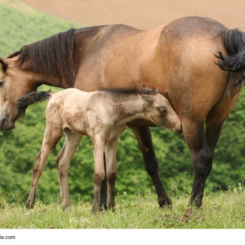 Trinkendes Connemara-Pony Fohlen