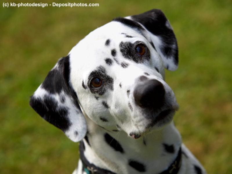 Dalmatiner Portrait schraeg