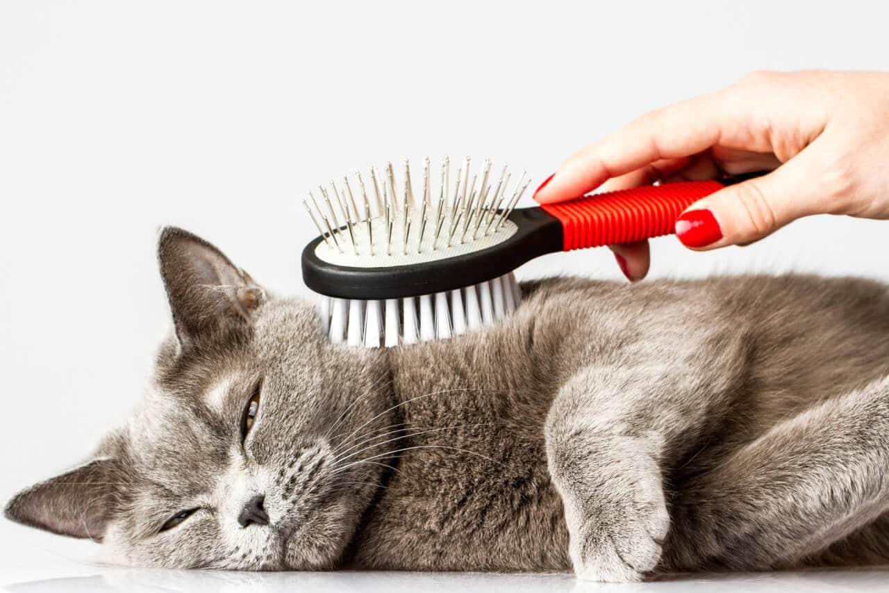 Die richtige Pflege für Katzen mit kurzem Fell