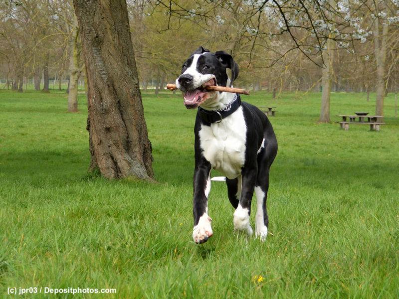 Deutsche-Dogge-Junghund-Stoeckchen-Spiel-Wiese-43994105_l-2015