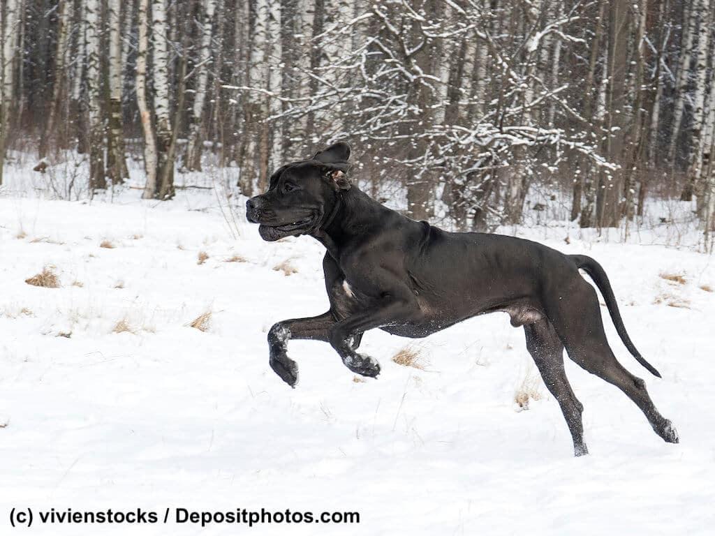 Deutsche Dogge im lauf