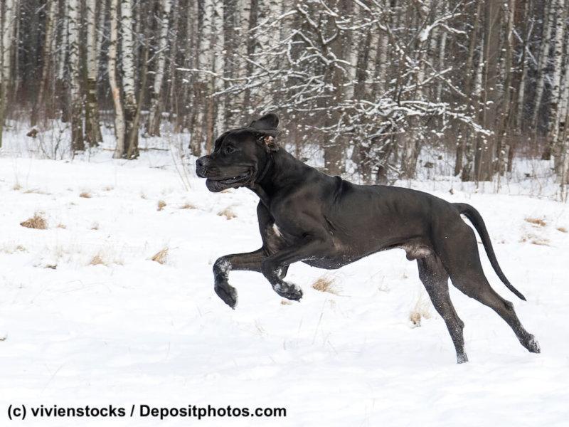 Deutsche Dogge im Schnee