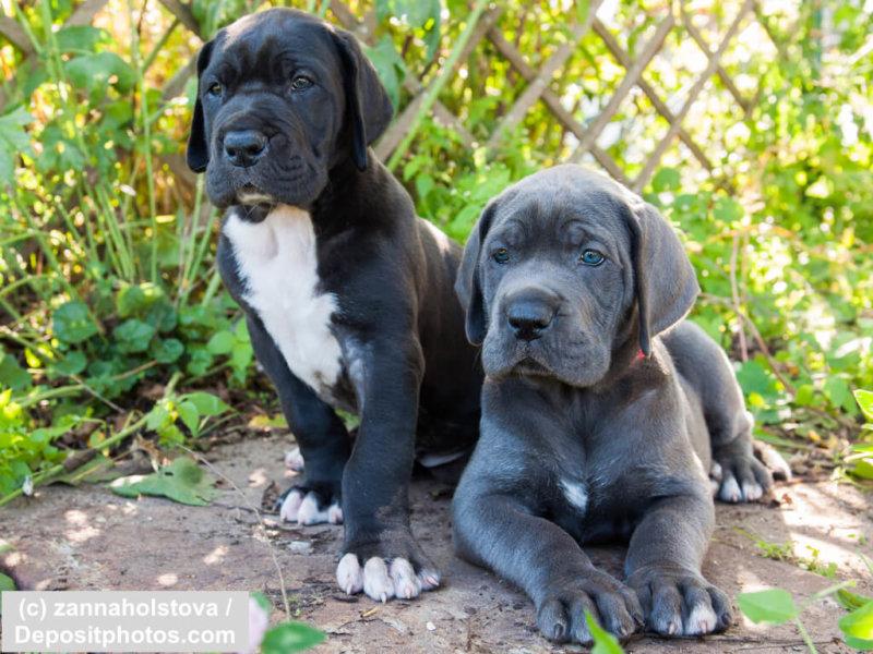 Zwei Deutsche Doggen Welpen