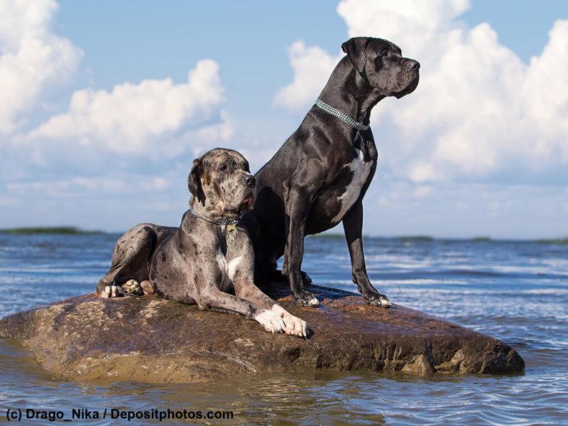 Zwei Deutsche Doggen am Wasser
