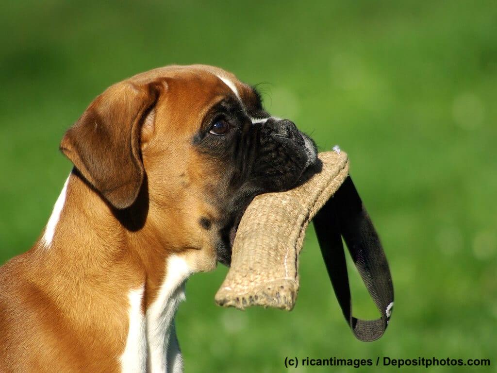 Beschäftigung für Boxer Hund