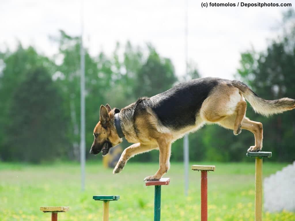 Deutscher Schäferhund absolviert eine Begleithundeprüfung