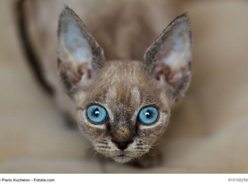 Nahaufnahme einer Devon Rex Katze