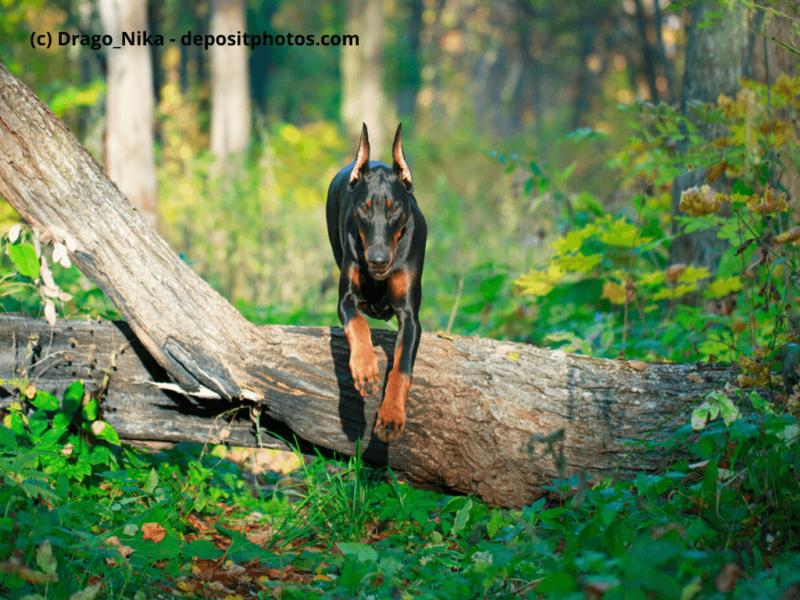 Dobermann springt über einen Baumstamm