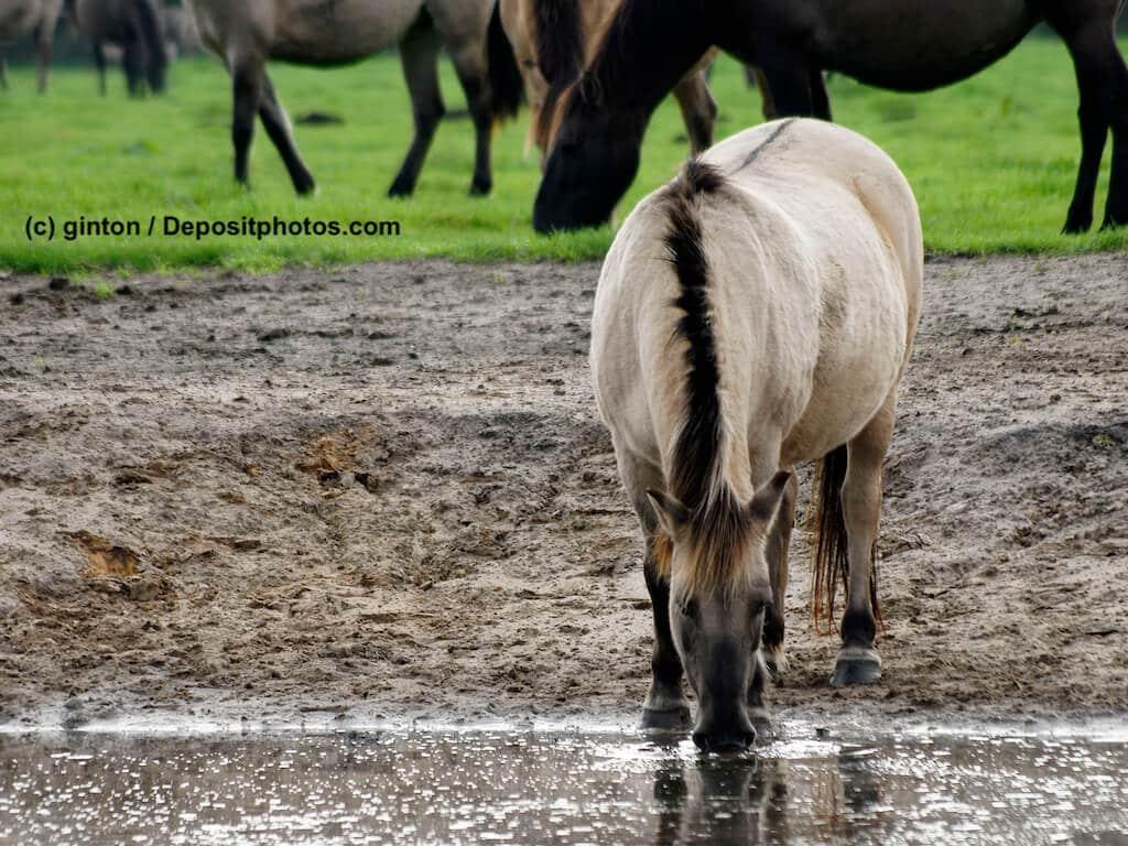 Duelmener Wildpferd Steckbrief