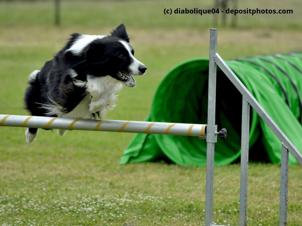 Ein Border-Collie während einer Agilty-Dog Show